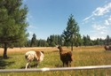 Photo - Etat de Washington - Elevage de lamas