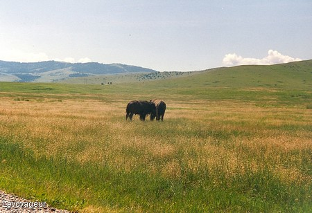 Photo - National Bison Range, bisons en libert�