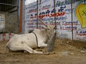 Photo - Kanchipuram - Vache sacrée